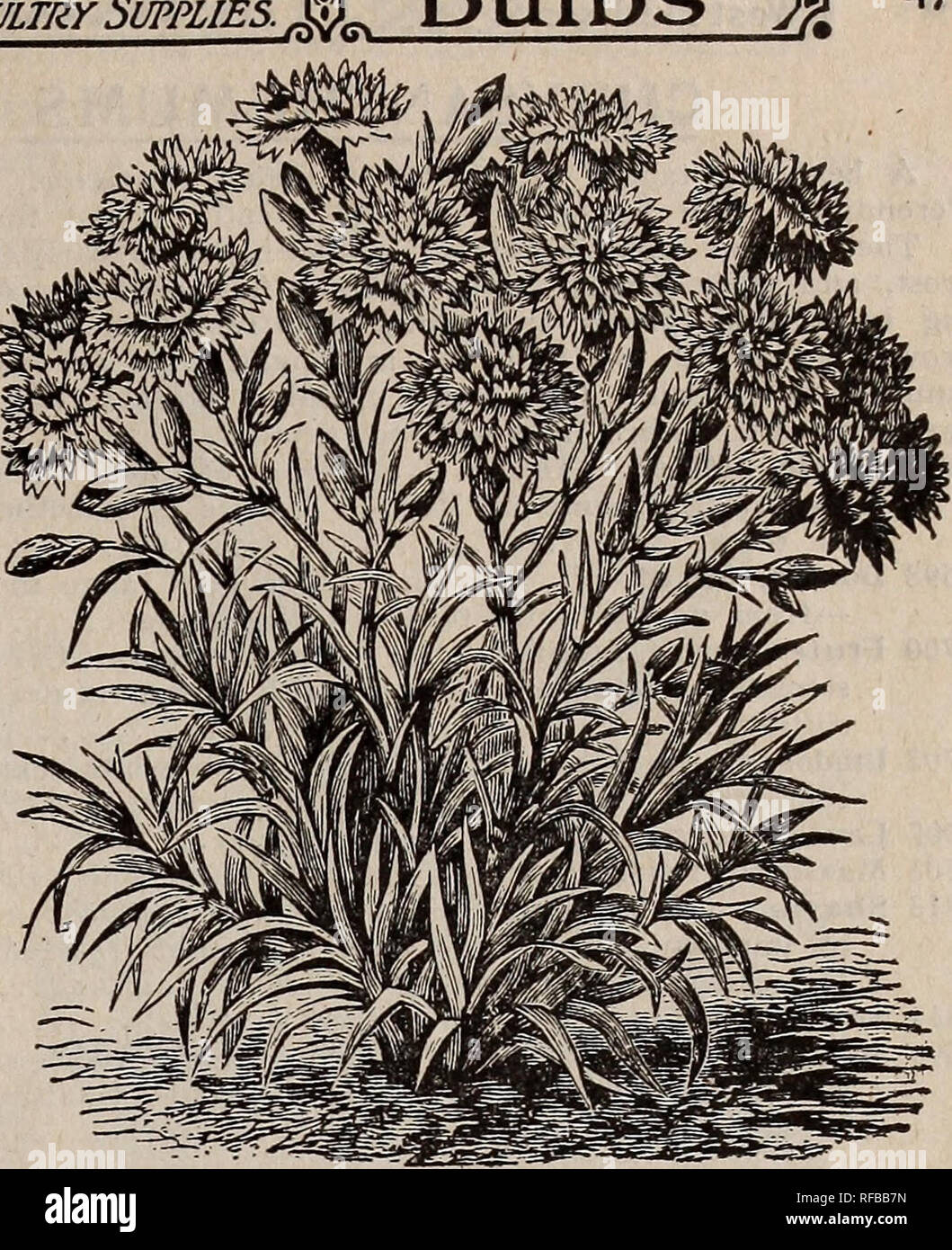 """. Catalogue 1913 : seeds, bulbs, shrubs. Seeds Catalogs; Vegetables Seeds Catalogs; Flowers Seeds Catalogs; Fruit Seeds Catalogs; Nurseries (Horticulture) Catalogs. MARGARET CARNATI ON CELOSIA, """"castle GOULD ' CELOSIA PLUMOSA (Plumed Cockscomb) Branching plants 3J^ feet high, bearing large, conical, plumed heads of either golden yellow, fiery scarlet, purple, salmon, blood-red, etc. Good for cut flowers. Annuals, growing easily and quickly from seed. 2633 Pride of Castle Gould. This forms pyramidal, branching plants, bearing large, conical, plumed heads in various colors. Mixed 50 2655 Tr Stock Photo"""