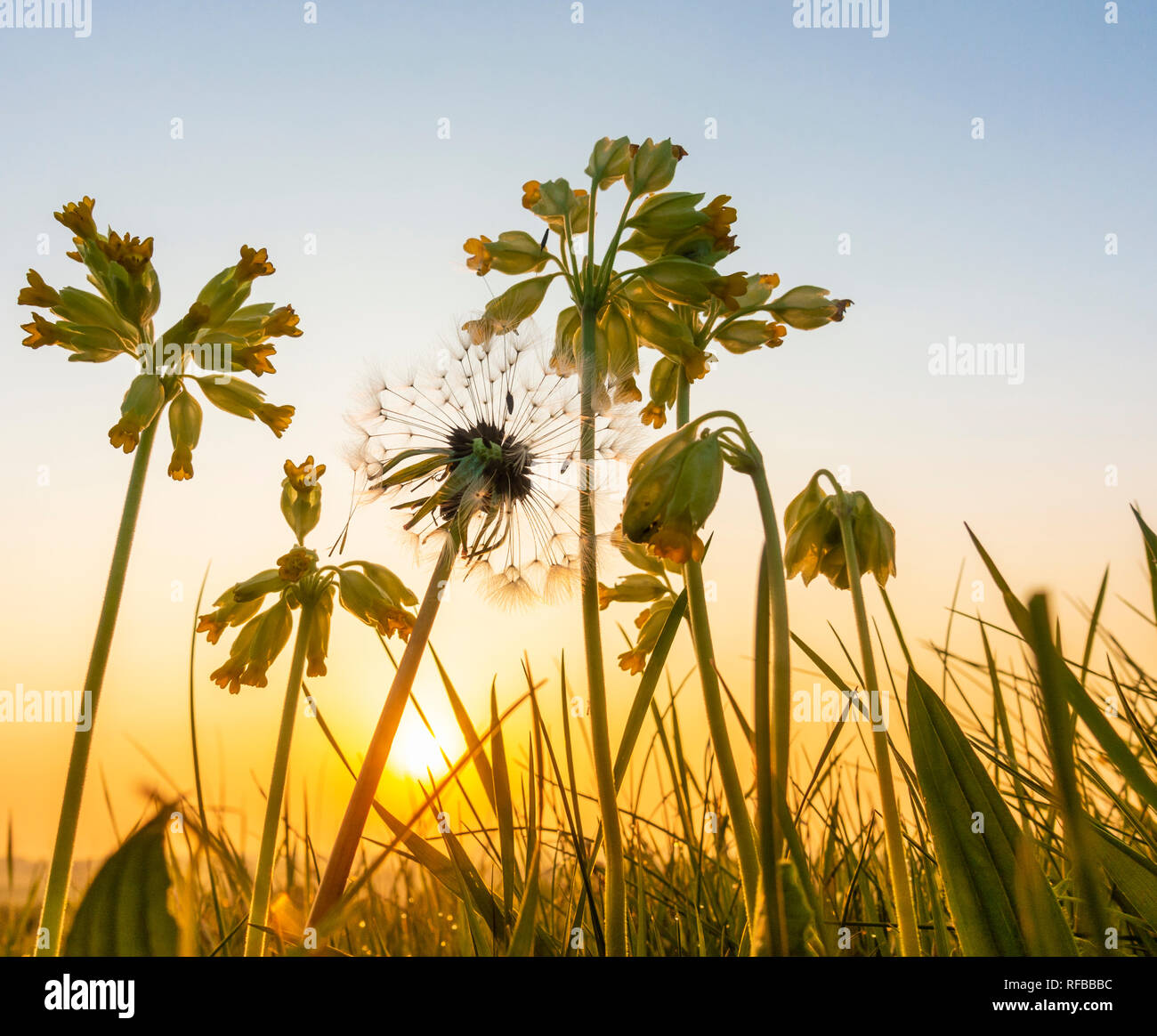 Primula Veris (Cowslip) and Dandelion clock seed in wildflower meadow at sunrise. UK Stock Photo