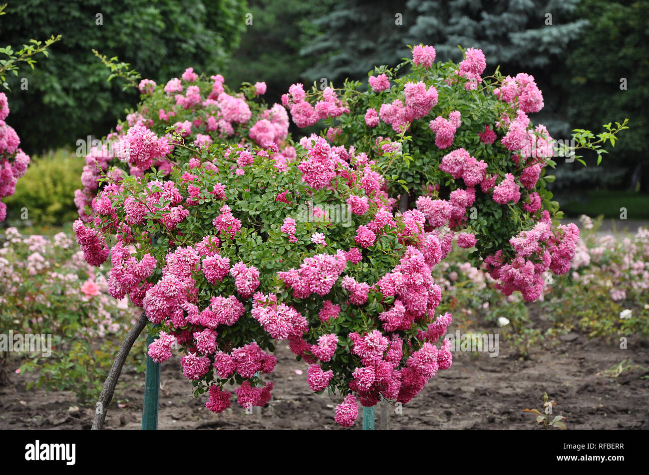 Beautiful fragrant blooming titled pink rose trees in the garden, selective focus - Stock Image