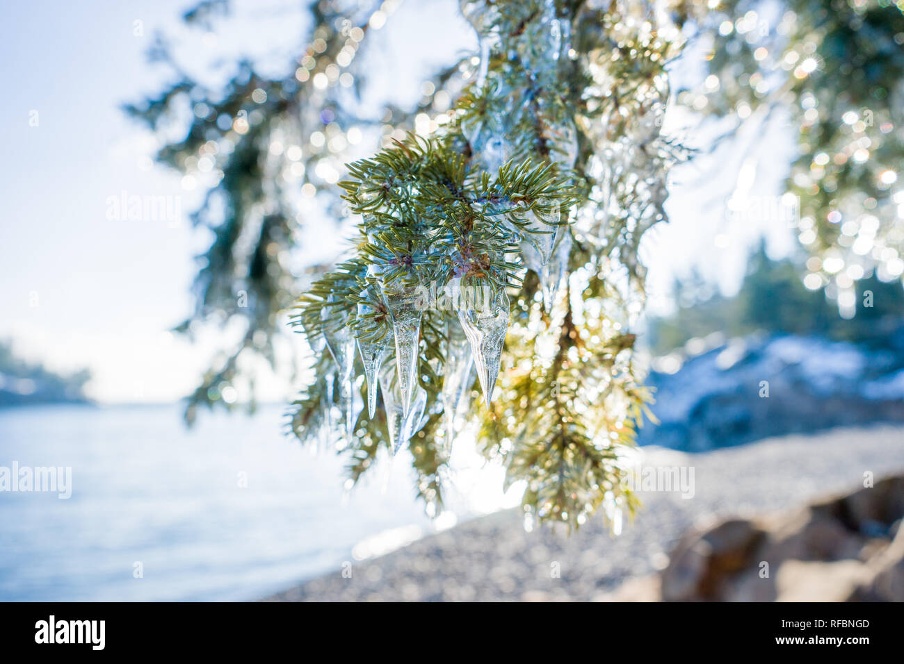 Icicles hanging on pine trees at Split Rock Lighthouse State Park - Stock Image
