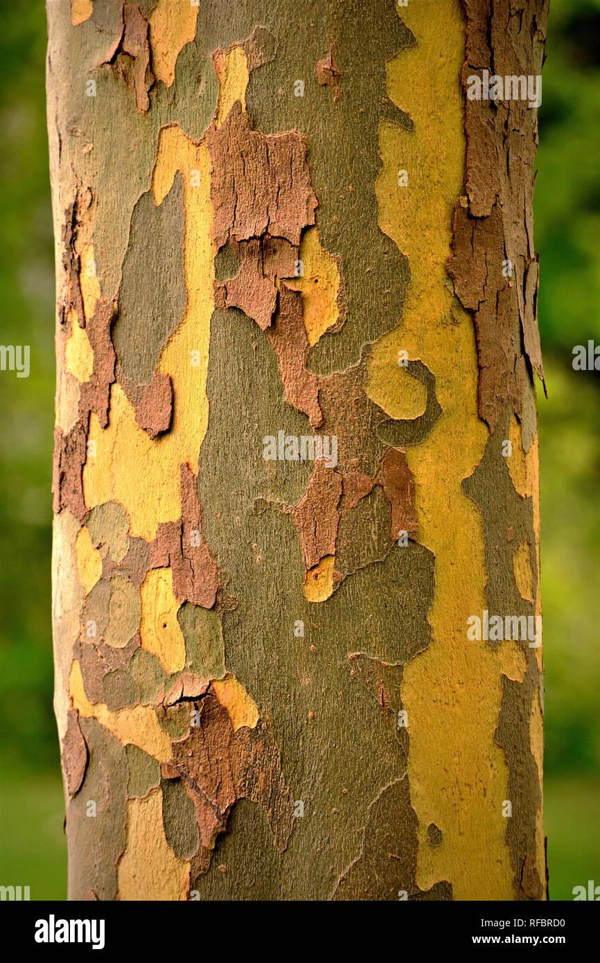 Closeup of the colorful textured bark of the Eucalyptus Globulus tree - Stock Image