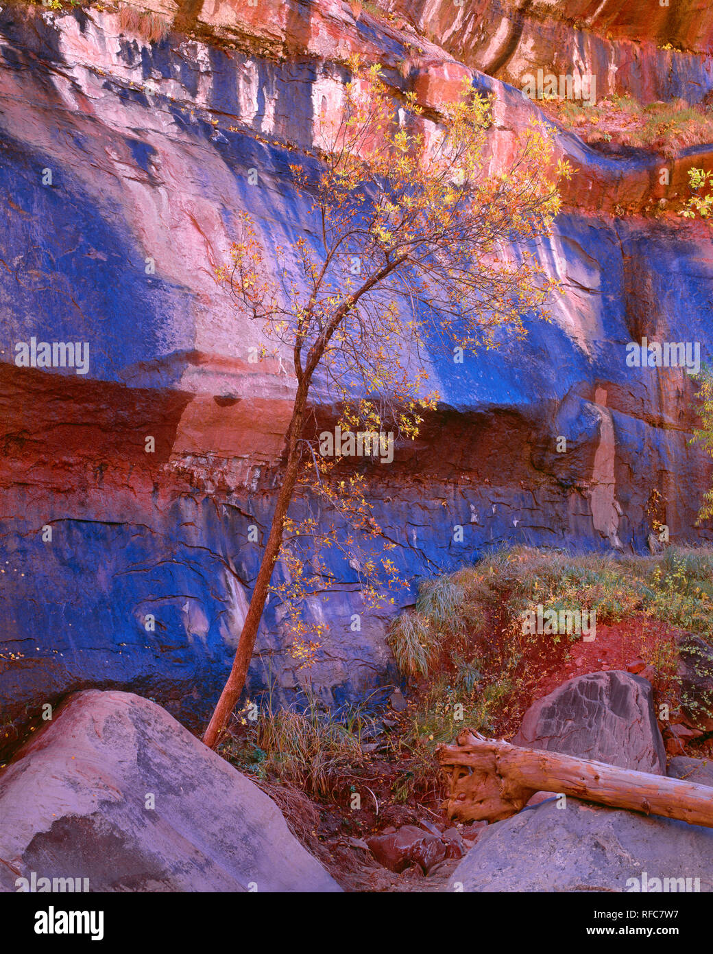 USA, Utah, Zion National Park, Wall of wet Navajo Sandstone from natural seepage and fall colored box elder; Zion Canyon. - Stock Image