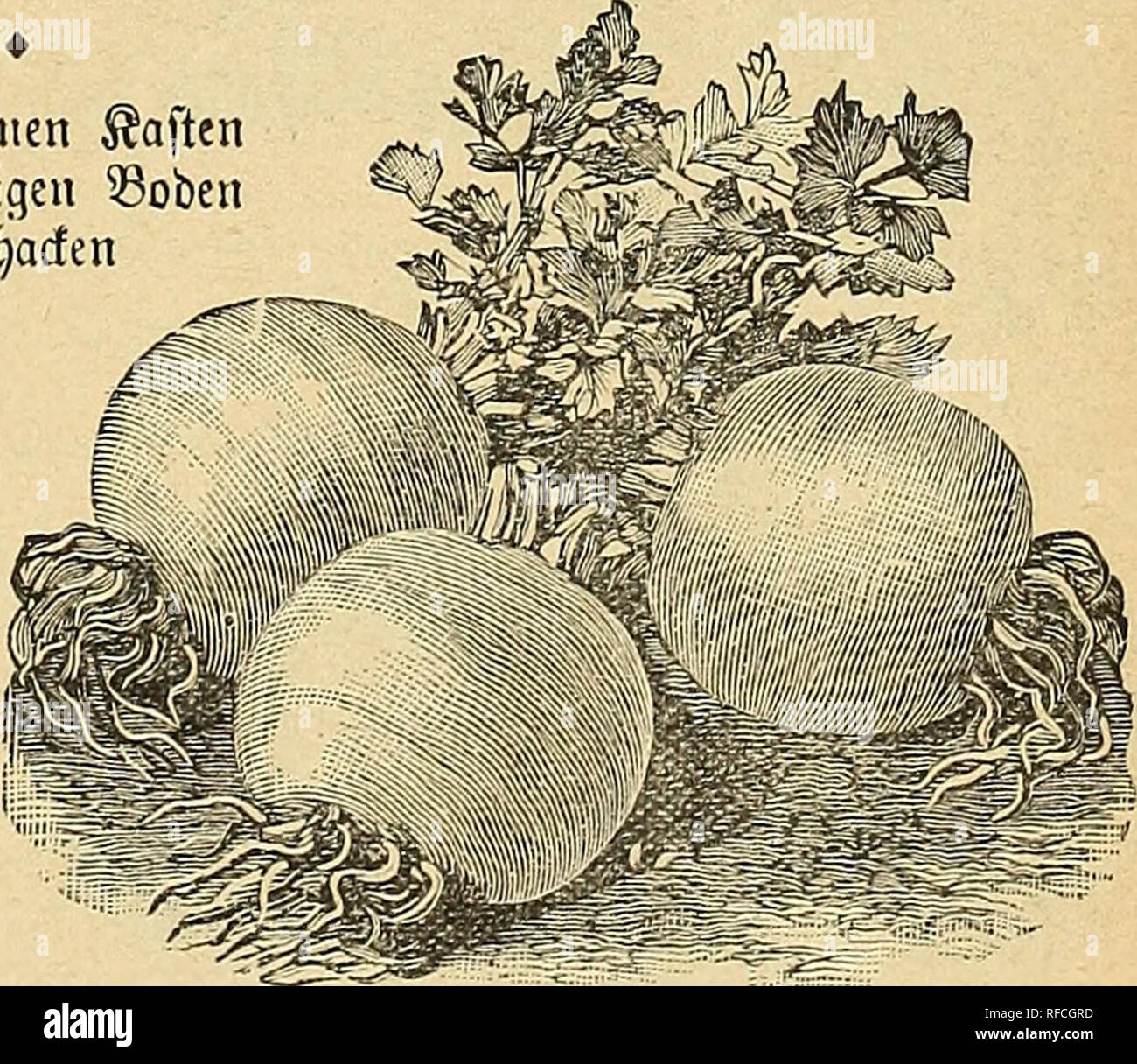 ". Seeds : 1898. Nursery stock Wisconsin Milwaukee Catalogs; Vegetables Seeds Catalogs; Flowers Seeds Catalogs. ""©olben @elf=53land)ing."" ©faUtfOfO'S %alb$WeVQ — (Sine berühmte ©orte bet ben Wlaxh-- gärtnern in ber Untgegenb Don SJcero ?)orf, ^3t)tIabe(pJ)ta unb SBafbington. ©ie befttst ade @igenfd)aften, metdje man Don peifefteut ©ederie Derlaugt: Seftigfett; tft niemals ijobl; SGBo^tgefctjmadf, einen eigenen nujjartigen; rofdjeS 5ß}acf)§tt)uro. Dbroobt eine ^roergart, liefert fic [chicere 33üfd;e. ' $er Unge 15c ÜB Oft Ott fffttiXtU— fturje, treibe ©orte. Dfme $rage einer ber beften. üße - Stock Image"