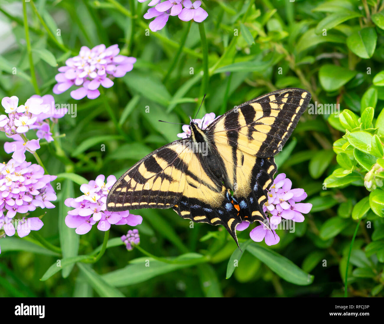Tiger swallowtail butterfly Papilionidae with spread wings, feeding on verbena flowers - Stock Image