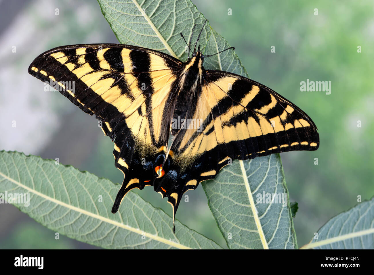 Tiger swallowtail butterfly Papilionidae with wings spread, on a willow leaf - top view - Stock Image