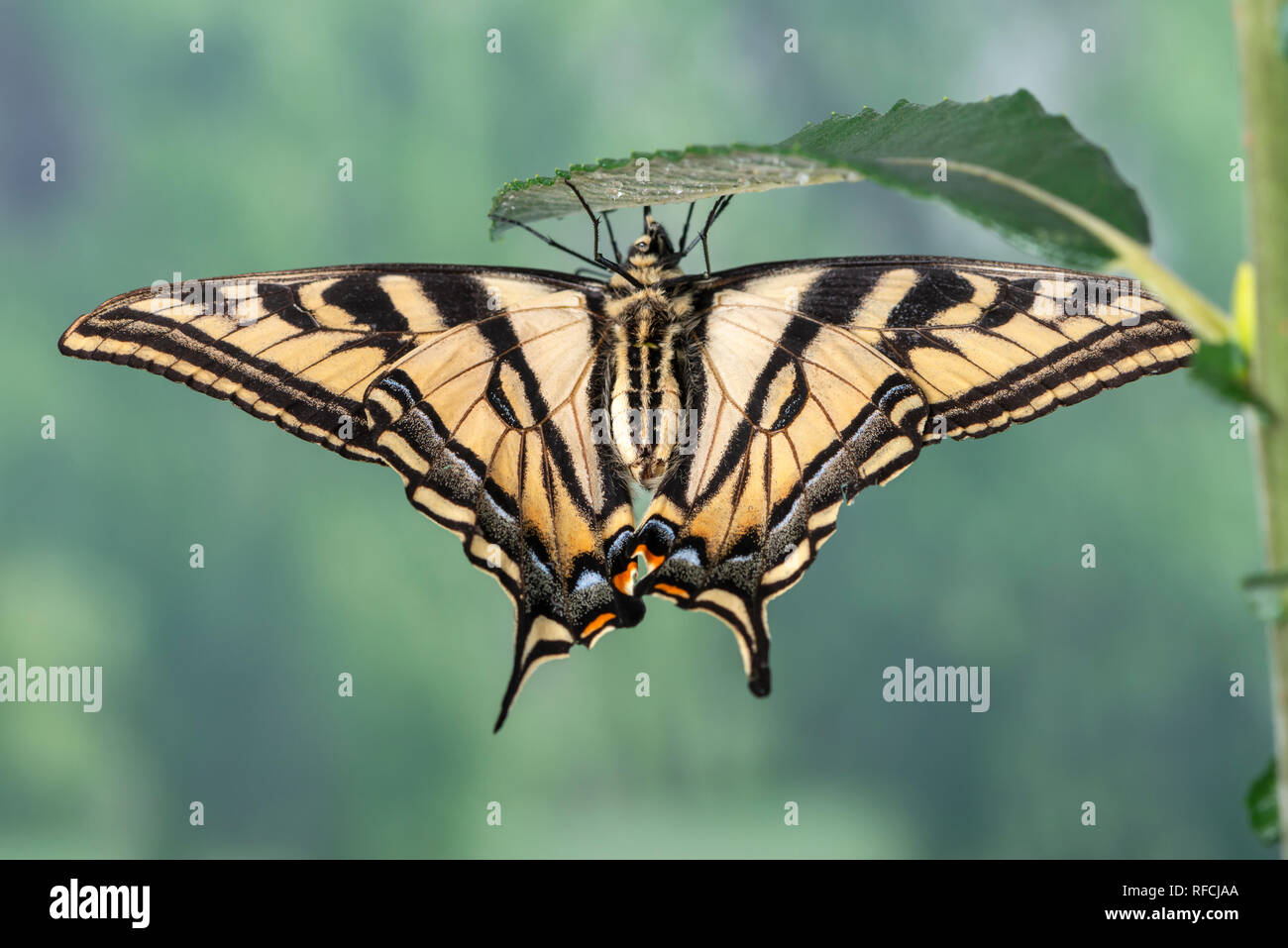 Tiger swallowtail butterfly Papilionidae hanging from a willow leaf - under side view - Stock Image