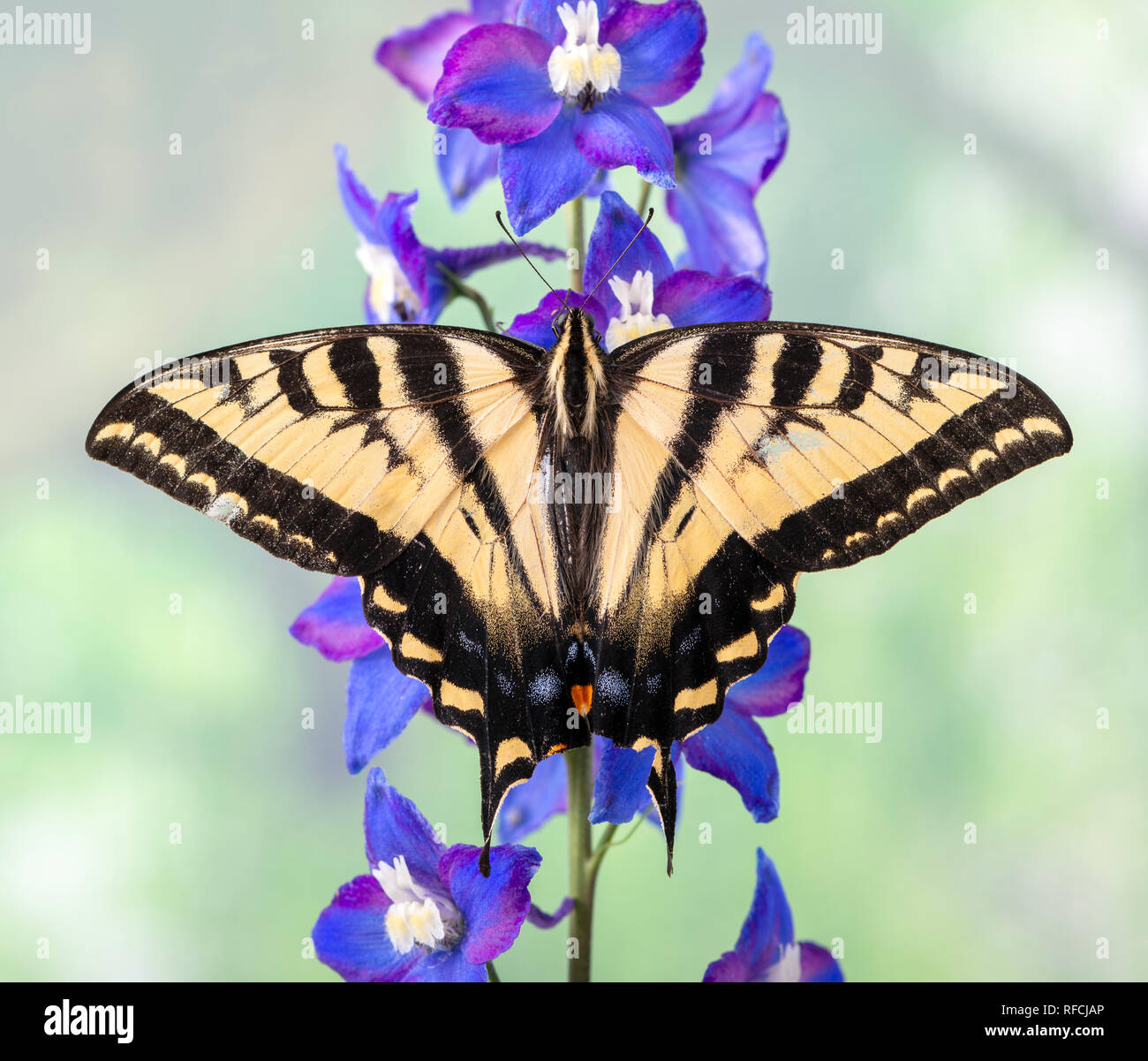 Tiger swallowtail butterfly Papilionidae on a blue delphinium flower with wings spread - Stock Image