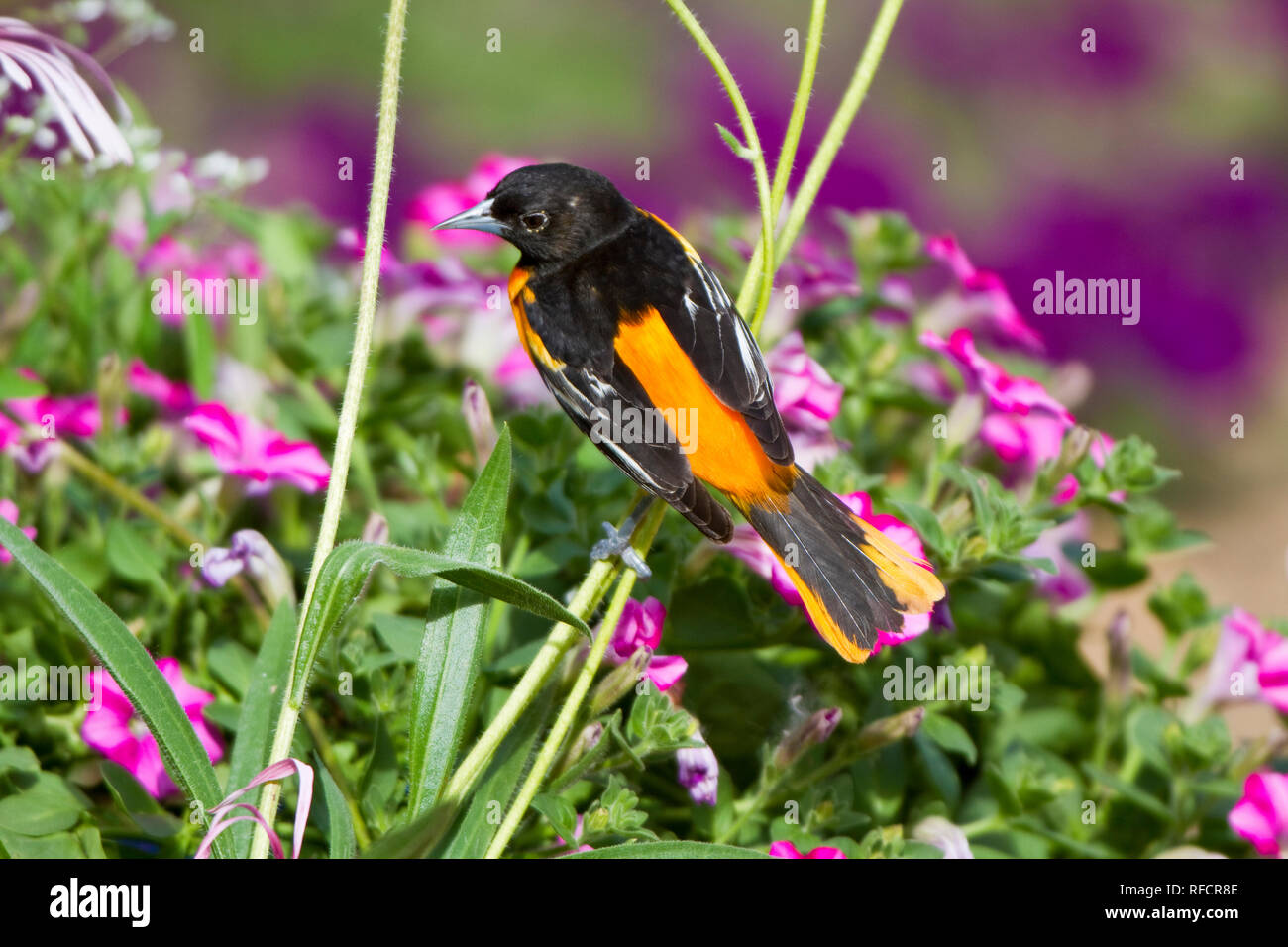 01611-09211 Baltimore Oriole (Icterus galbula) male on Pale Purple Coneflower (Echinacea pallida) in flower garden, Marion Co., IL - Stock Image