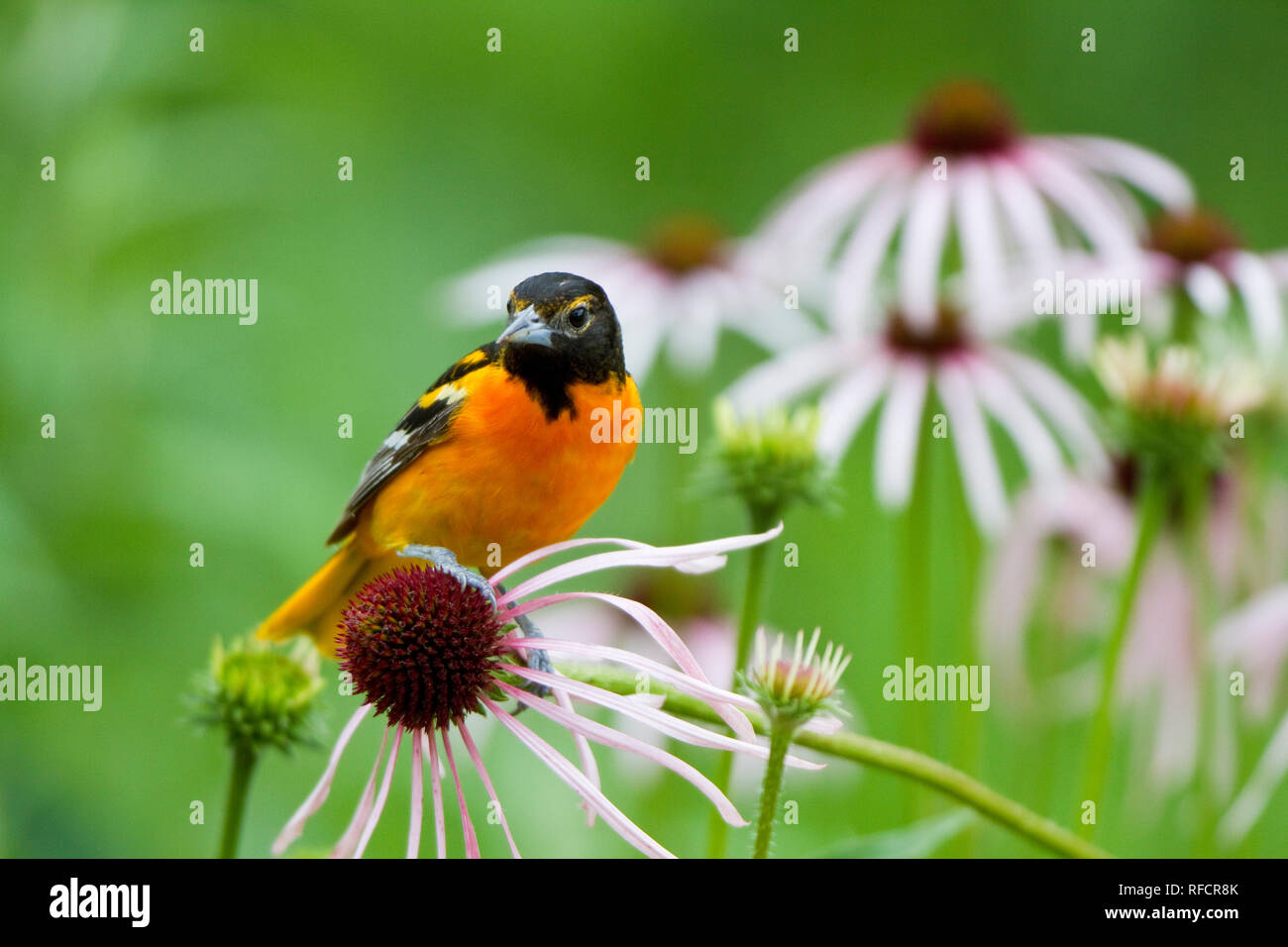 01611-09301 Baltimore Oriole (Icterus galbula) male on Pale Purple Coneflower (Echinacea pallida) in flower garden, Marion Co., IL - Stock Image