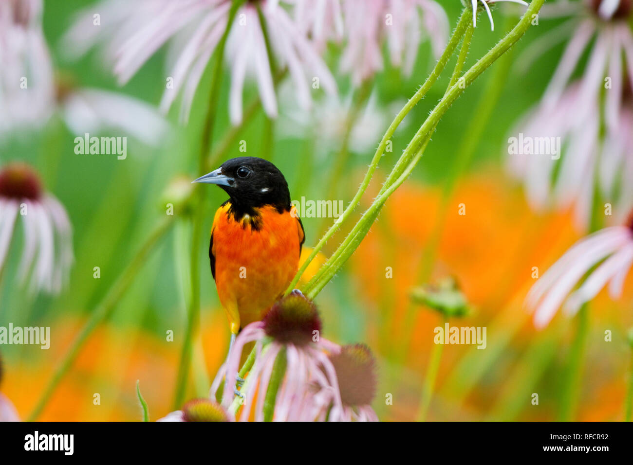 01611-09307 Baltimore Oriole (Icterus galbula) male on Pale Purple Coneflower (Echinacea pallida) in flower garden, Marion Co., IL - Stock Image