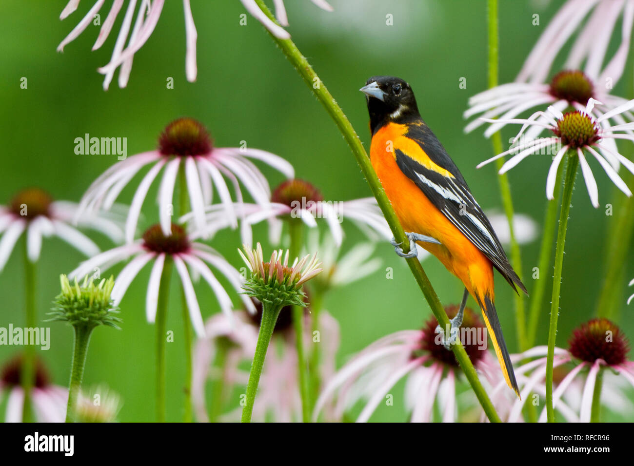 01611-09310 Baltimore Oriole (Icterus galbula) male on Pale Purple Coneflower (Echinacea pallida) in flower garden, Marion Co., IL - Stock Image