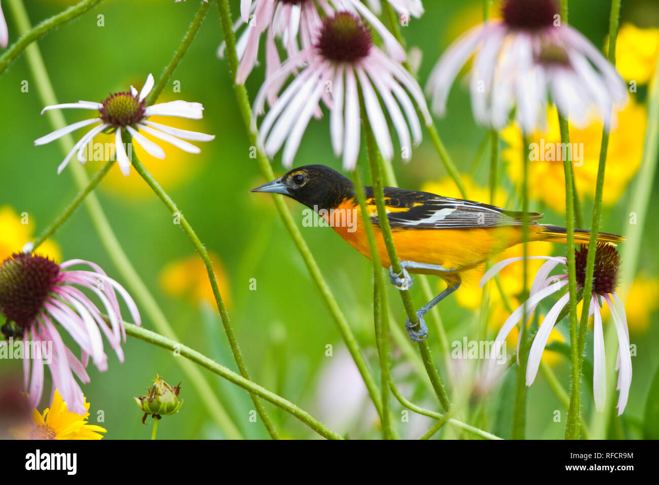 01611-09314 Baltimore Oriole (Icterus galbula) male on Pale Purple Coneflower (Echinacea pallida) in flower garden, Marion Co., IL - Stock Image