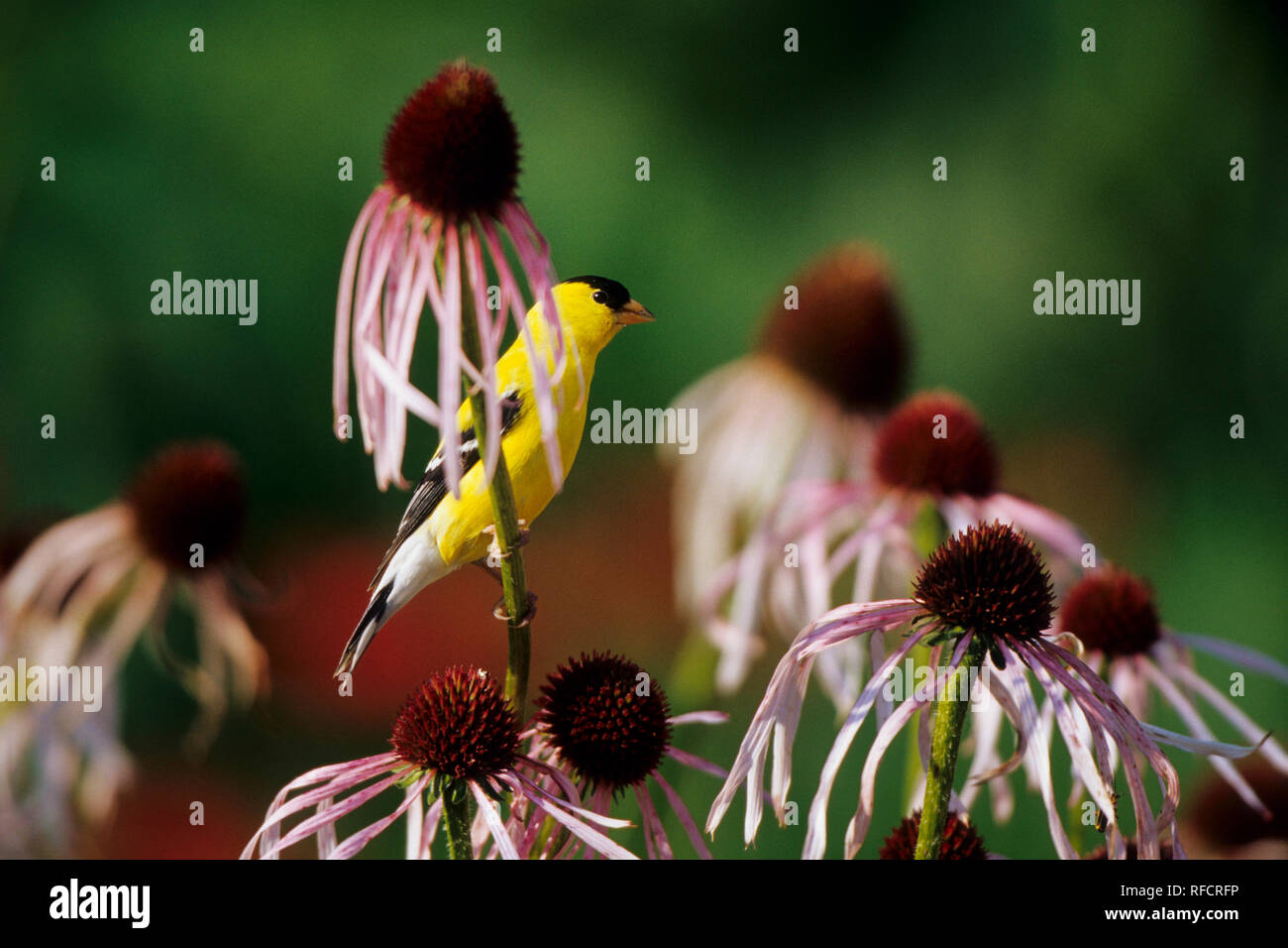 01640-11305 American Goldfinch (Carduelis tristis) male on Pale Purple Coneflower (Echinacea pallida)  Marion Co.  IL - Stock Image