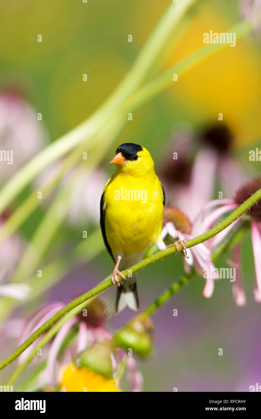01640-145.15 American Goldfinch (Carduelis tristis) male on Pale Purple Coneflower (Echinacea pallida) in flower garden, Marion Co. IL - Stock Image