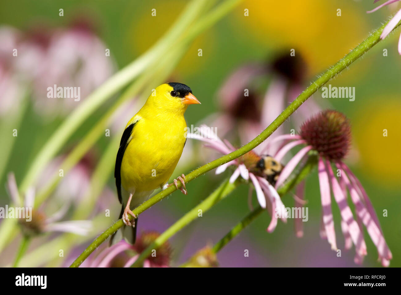 01640-145.10 American Goldfinch (Carduelis tristis) male on Pale Purple Coneflower (Echinacea pallida) in flower garden, Marion Co. IL - Stock Image