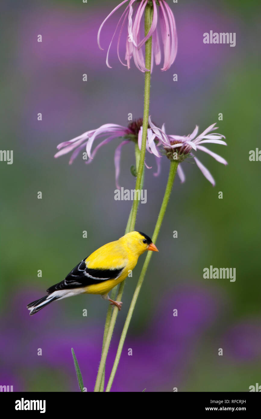 01640-15906 American Goldfinch (Carduelis tristis) male on Pale Purple Coneflower (Echinacea pallida)  in garden, Marion Co., IL - Stock Image