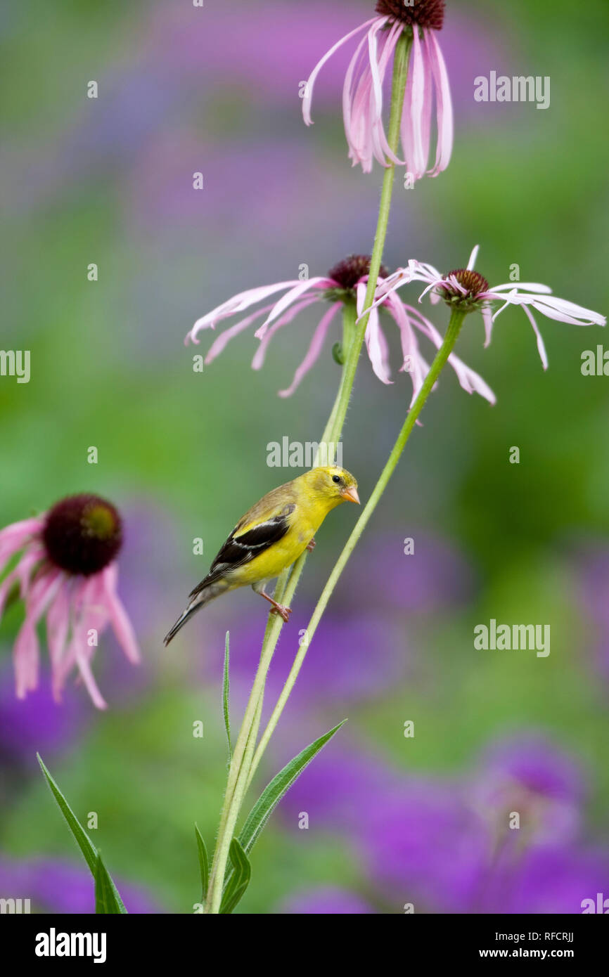 01640-15912 American Goldfinch (Carduelis tristis) female on Pale Purple Coneflower (Echinacea pallida)  in garden, Marion Co., IL - Stock Image