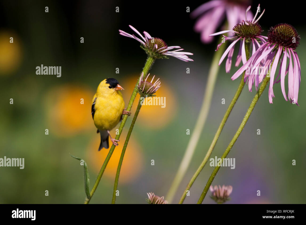 01640-15918 American Goldfinch (Carduelis tristis) male on Pale Purple Coneflower (Echinacea pallida)  in garden, Marion Co., IL - Stock Image