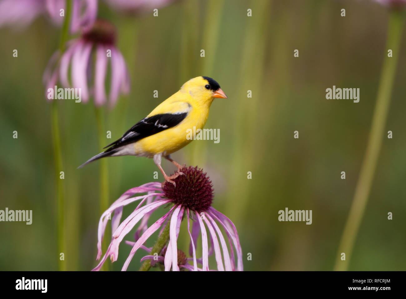 01640-16004 American Goldfinch (Carduelis tristis) male on Pale Purple Coneflower (Echinacea pallida)  in garden, Marion Co., IL - Stock Image