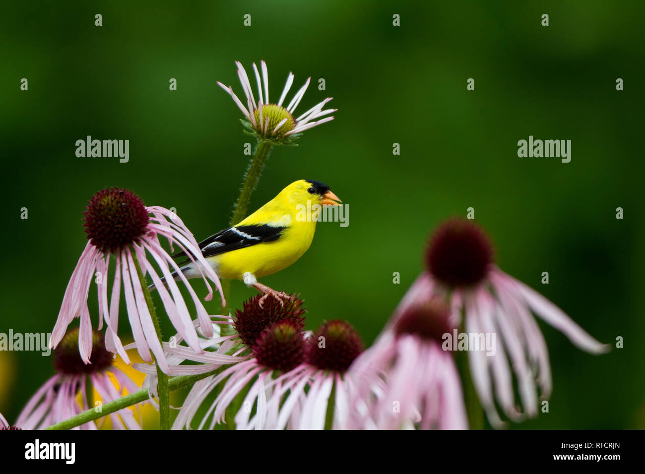 01640-16020 American Goldfinch (Carduelis tristis) male on Pale Purple Coneflower (Echinacea pallida) in flower garden, Marion Co, IL - Stock Image