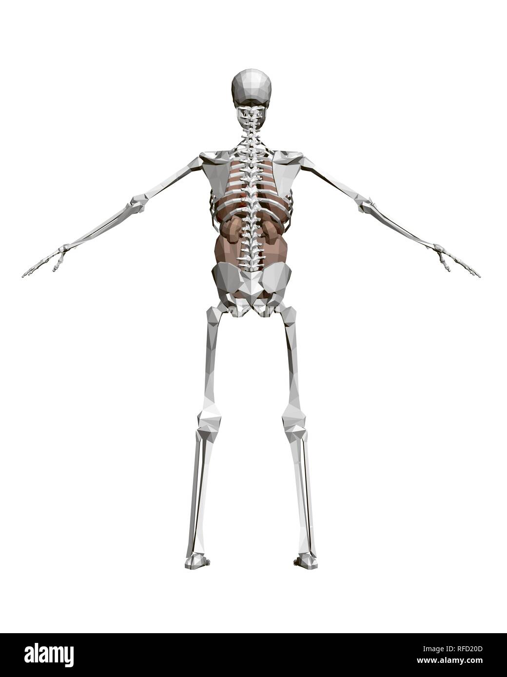 Human Skeleton With Organs 3d Polygonal Human Skeleton With