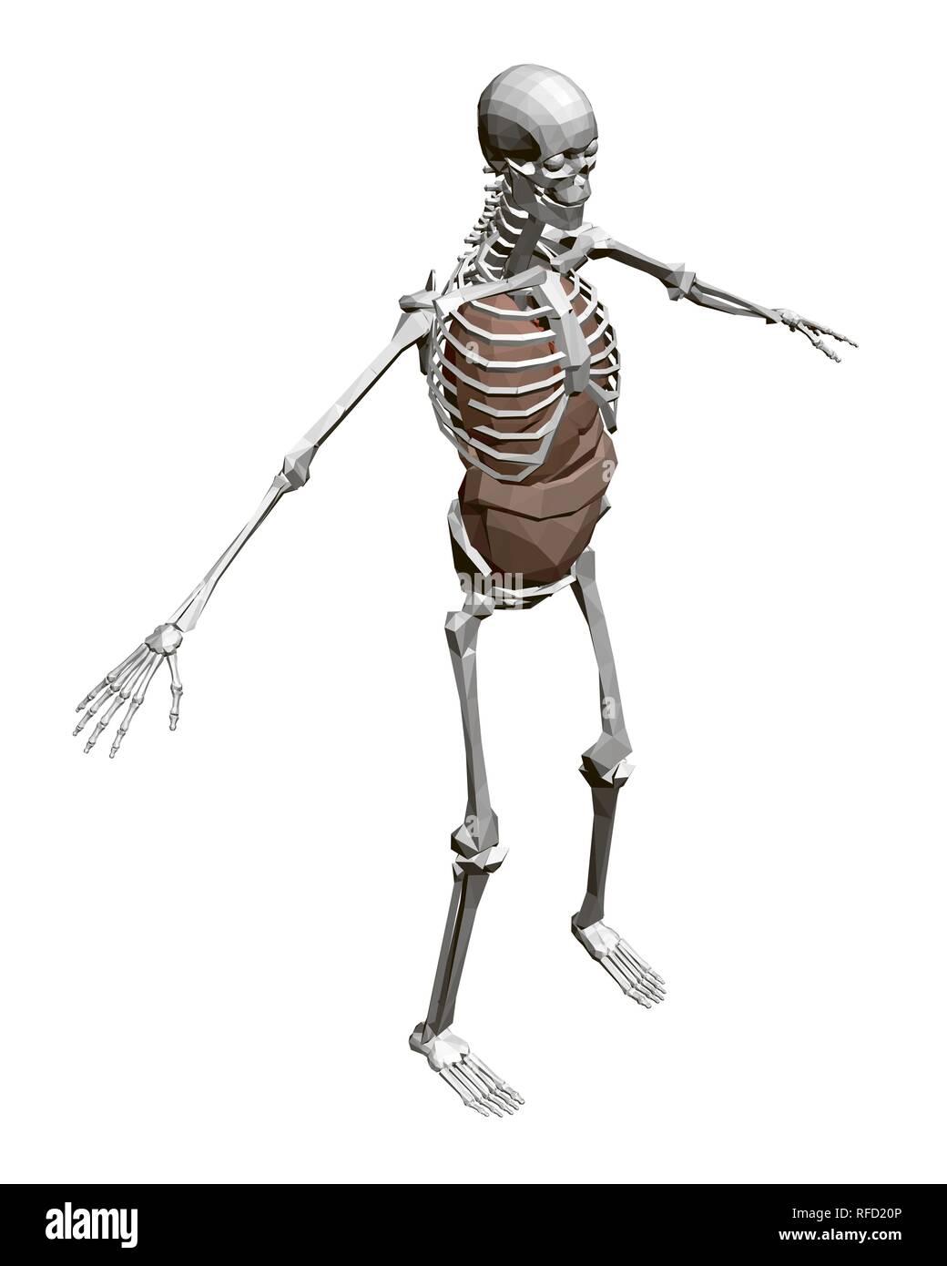 Human skeleton with organs  3D Polygonal human skeleton with