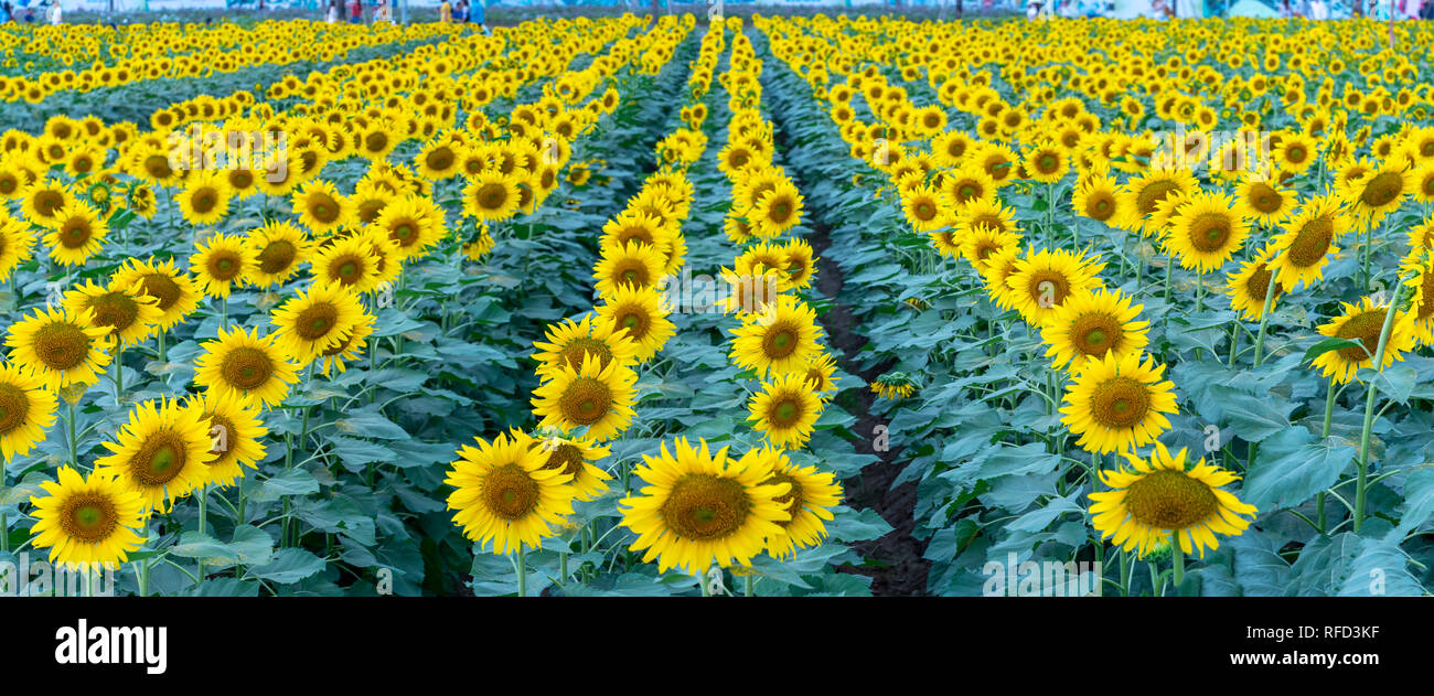 The panoramic view of the sunflower fields blooms in the ecotourism garden in the spring morning to welcome the new year - Stock Image