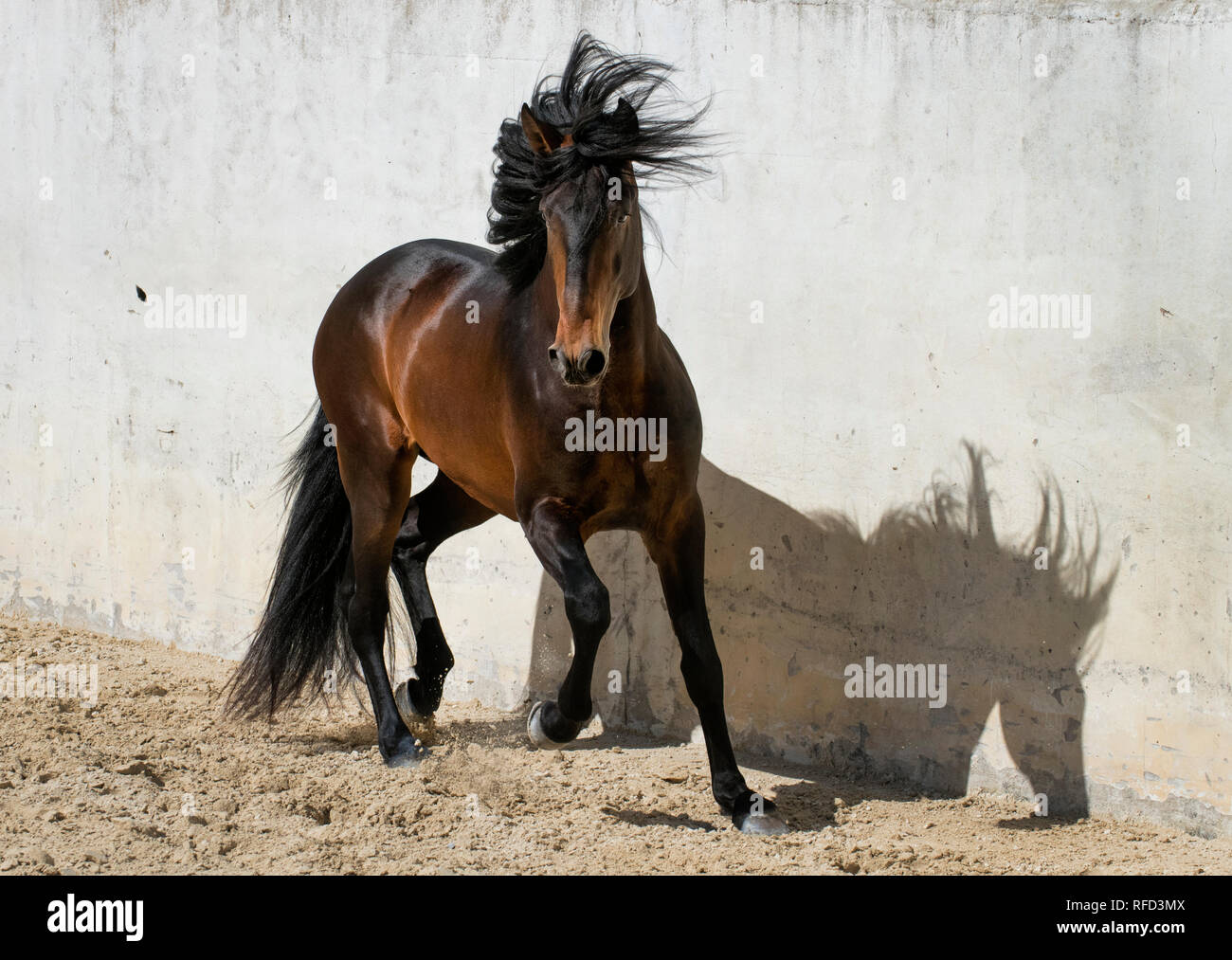 Lusitano Stallion at Liberty, Portugal - Stock Image