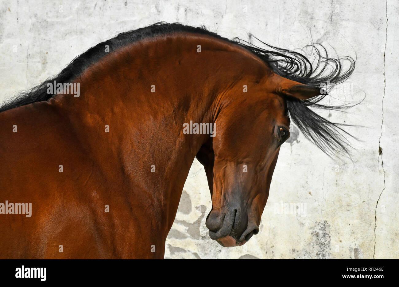 Headshot of Lusitano Stallion at Liberty, Portugal - Stock Image