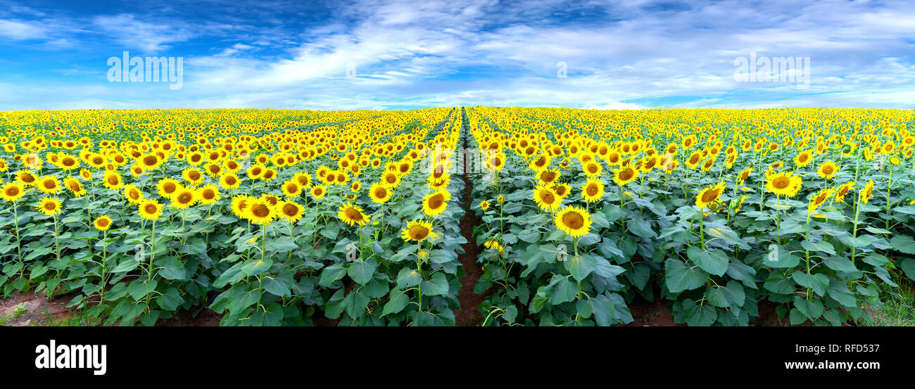 Panorama of the sunflower fields and a beautiful sky to welcome the new day of peace - Stock Image
