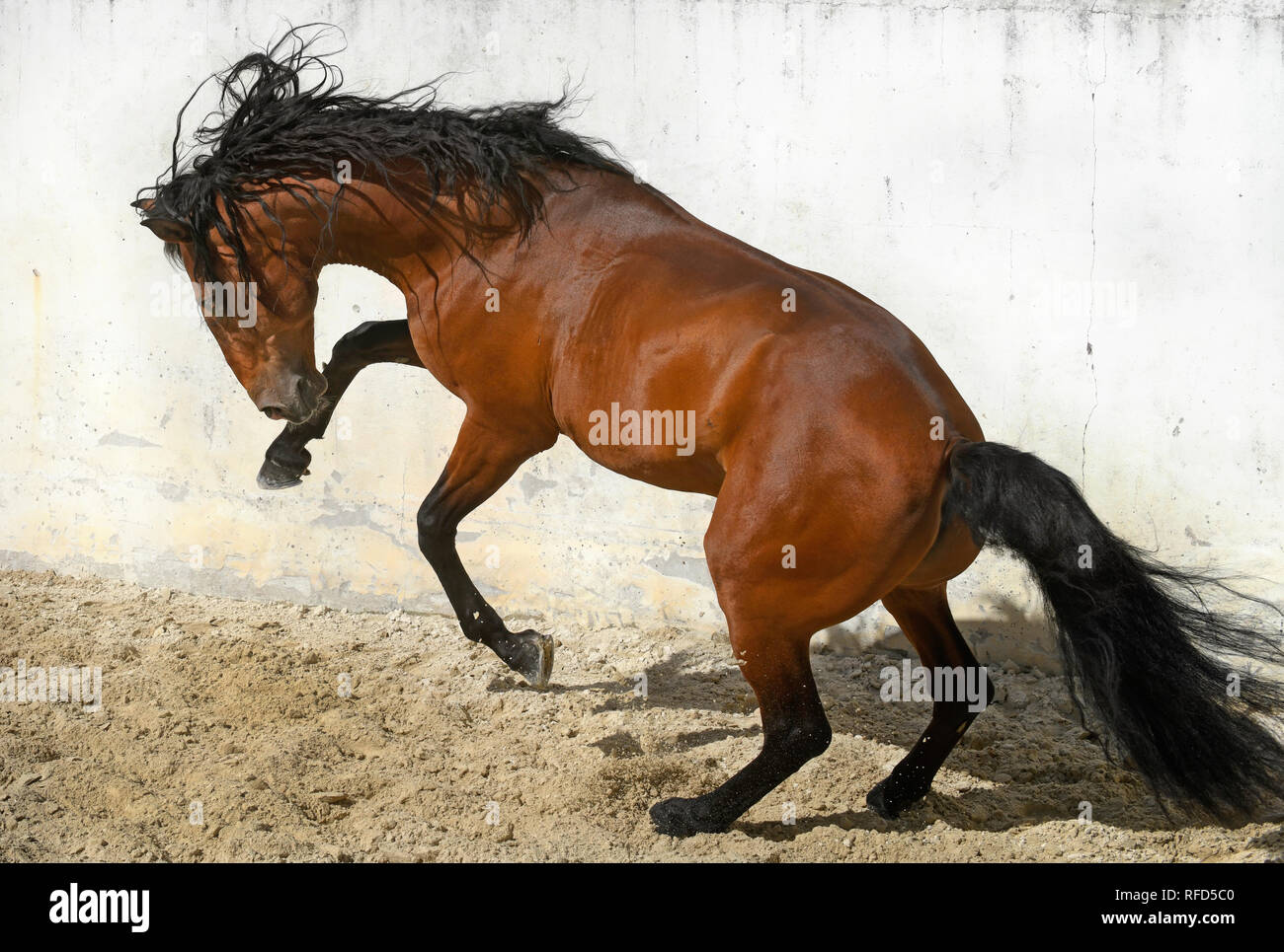 Lusitano Stallion at Liberty, Portugal Stock Photo