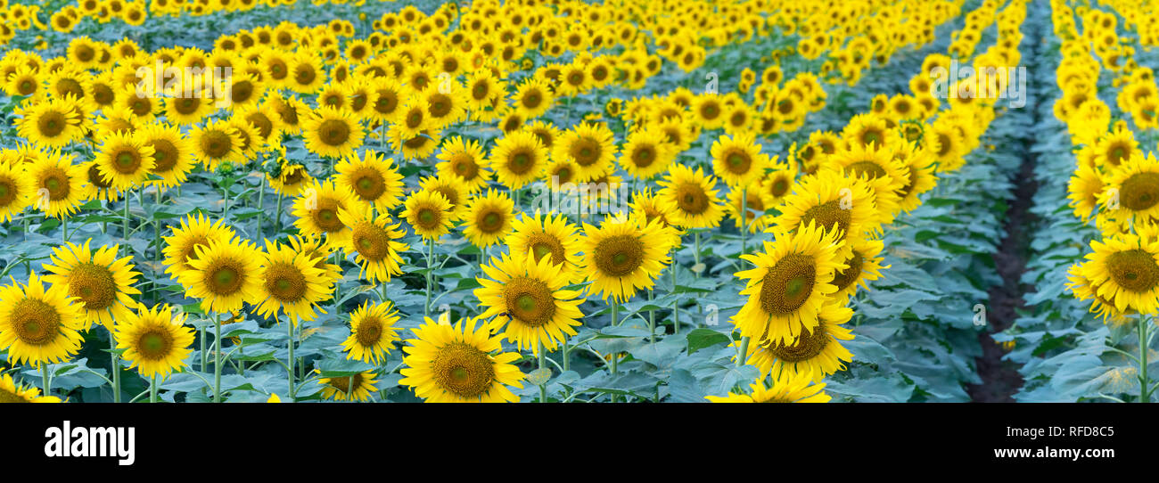 The panoramic view Sunflower fields with blooming flowers like the sun shining in organic farms - Stock Image