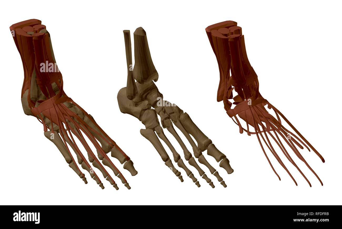 Foot Ankle Bones Anatomy Male Cut Out Stock Images Pictures Alamy
