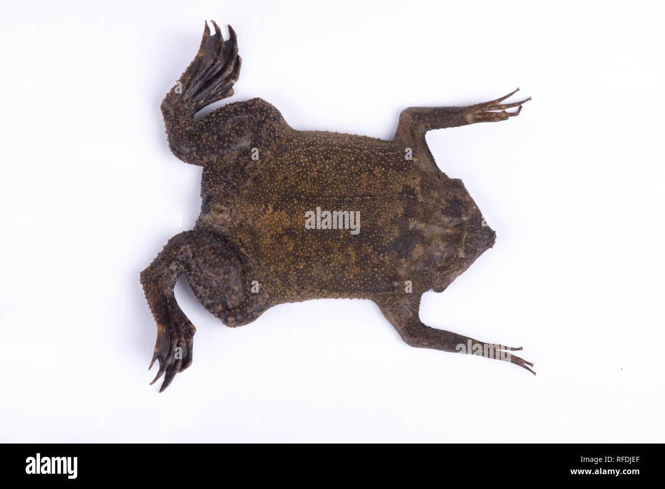 Surinam toad (Pipa pipa) - Stock Image
