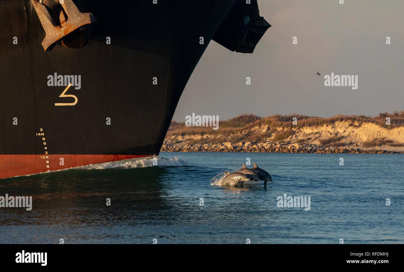 Bottlenose Dolphin, Tursiops truncatus, surfing the bow-wave of large ship, Port Aransas, Texas. - Stock Image