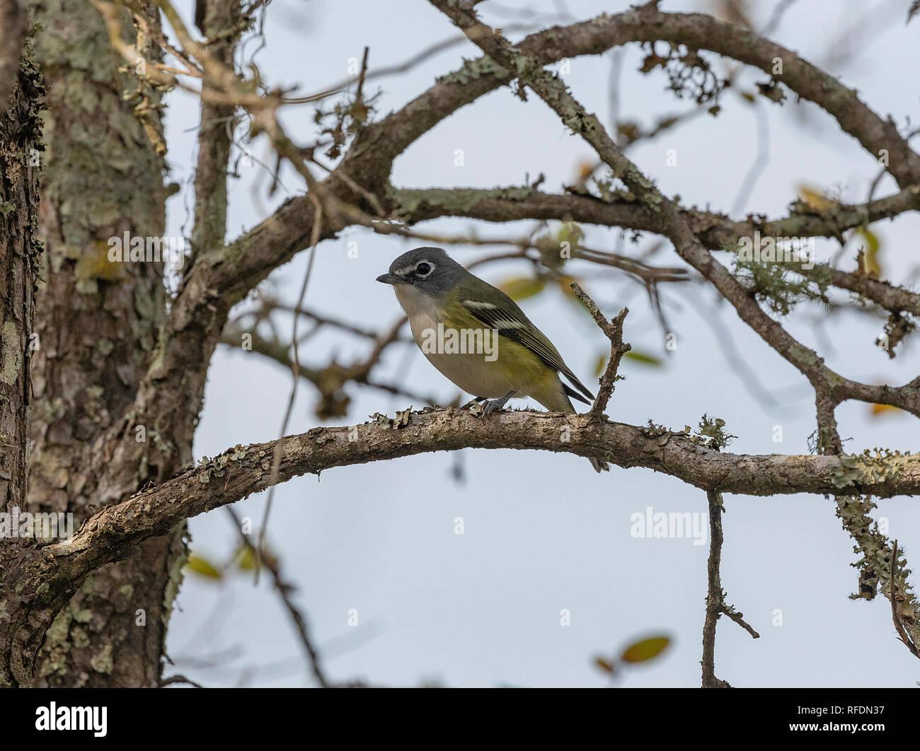 Blue-headed vireo, Vireo solitarius, feeding among tree branches in winter. Texas. Stock Photo