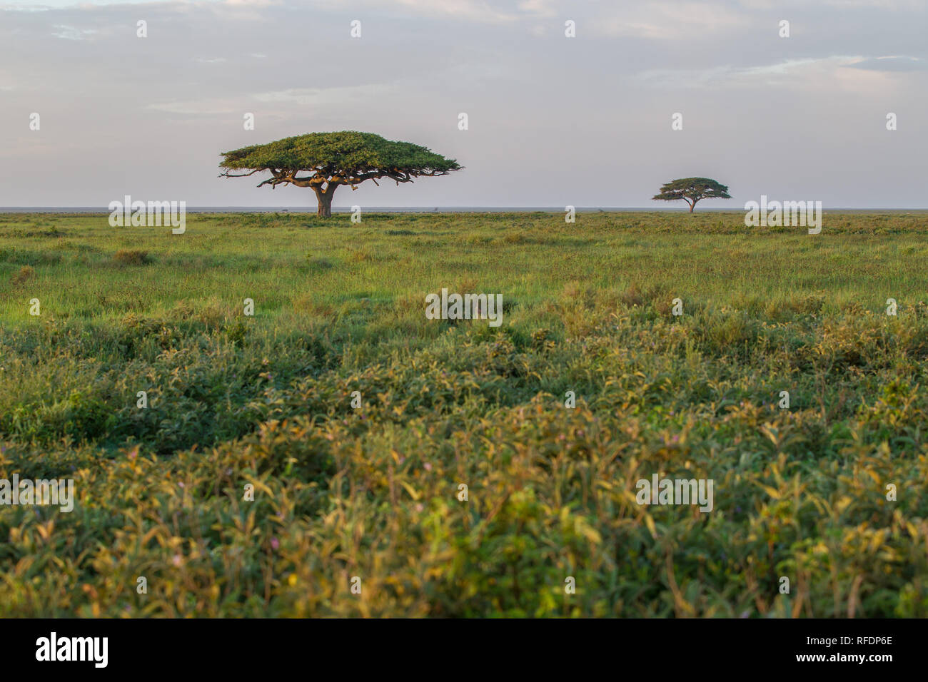 Short grass plains of Serengeti National Park, the Ndutu Region, and Ngorongoro Crater Conservation Area, Tanzania draw the great migration. - Stock Image