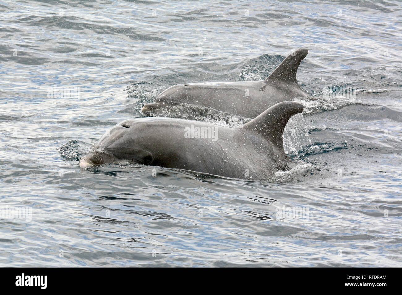 common bottlenose dolphin, Atlantic bottlenose dolphin, Große Tümmler, palackorrú delfin, Tursiops truncatus - Stock Image