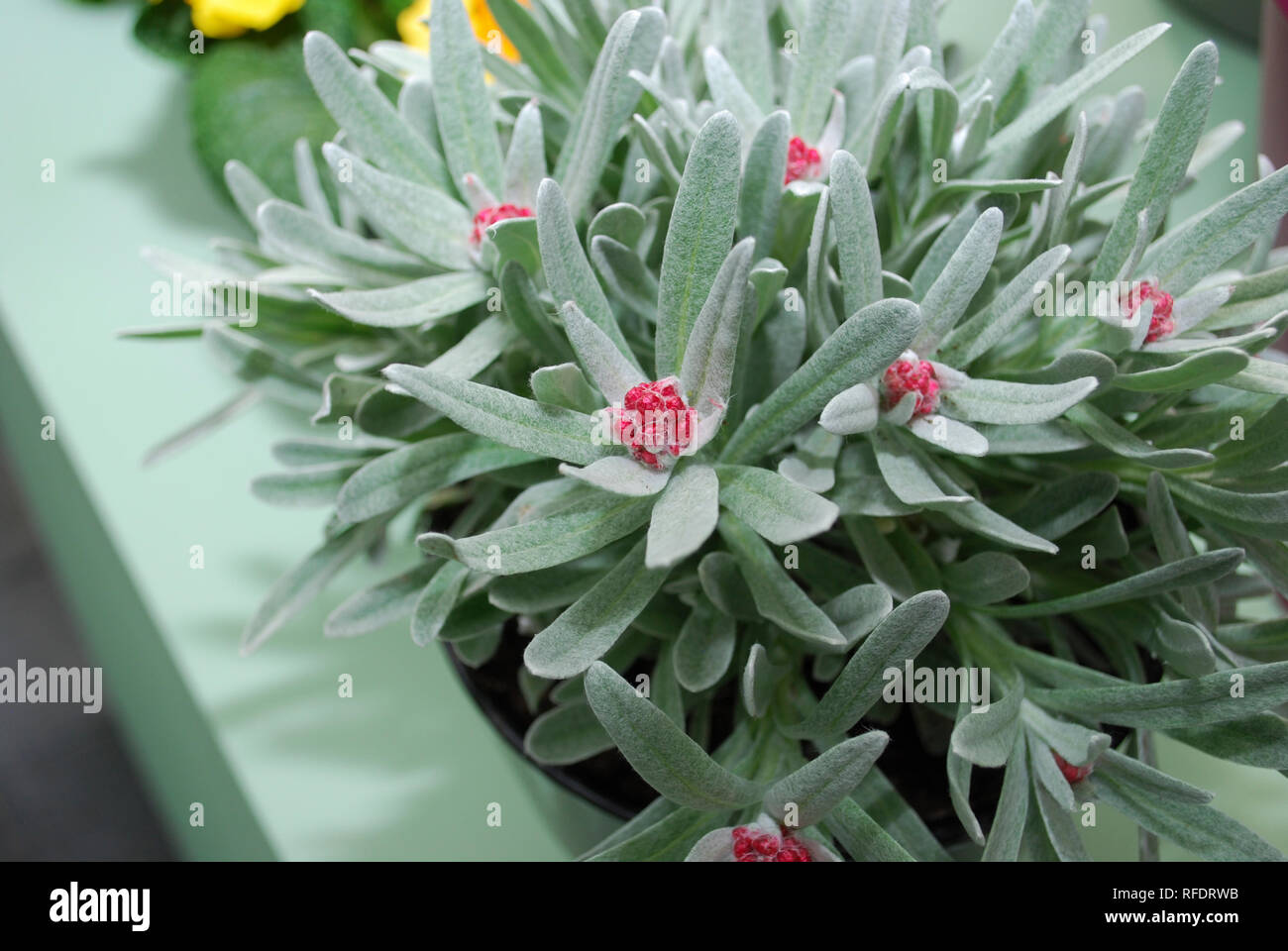 Rhododendron arboreum with silver leaves and red flower's buds. Springtime. - Stock Image