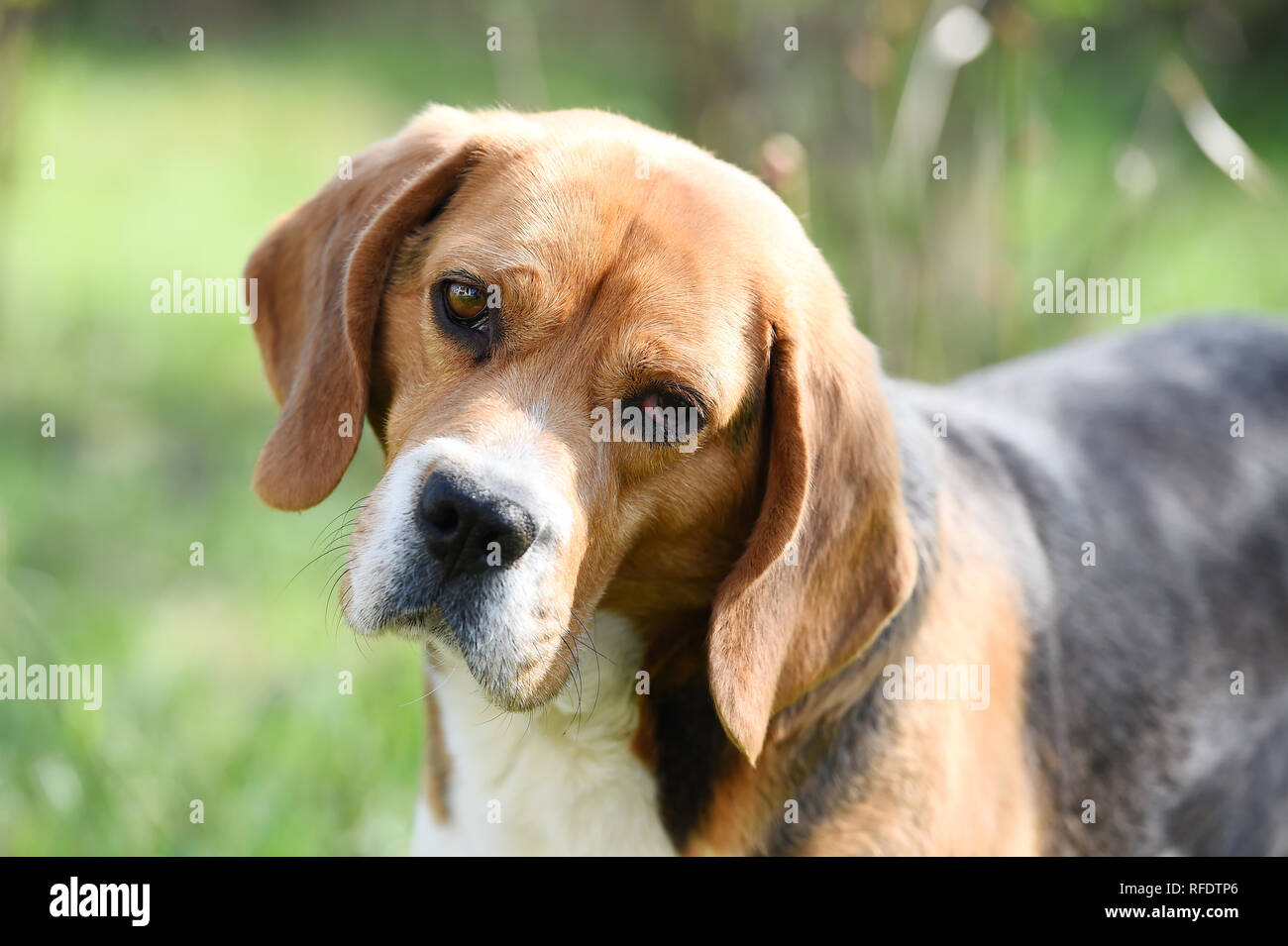 Companion or friend and friendship concept. Beagle walk on fresh air. Dog with long ears on summer outdoor. Cute pet on sunny day. Hunting and detection dog. - Stock Image