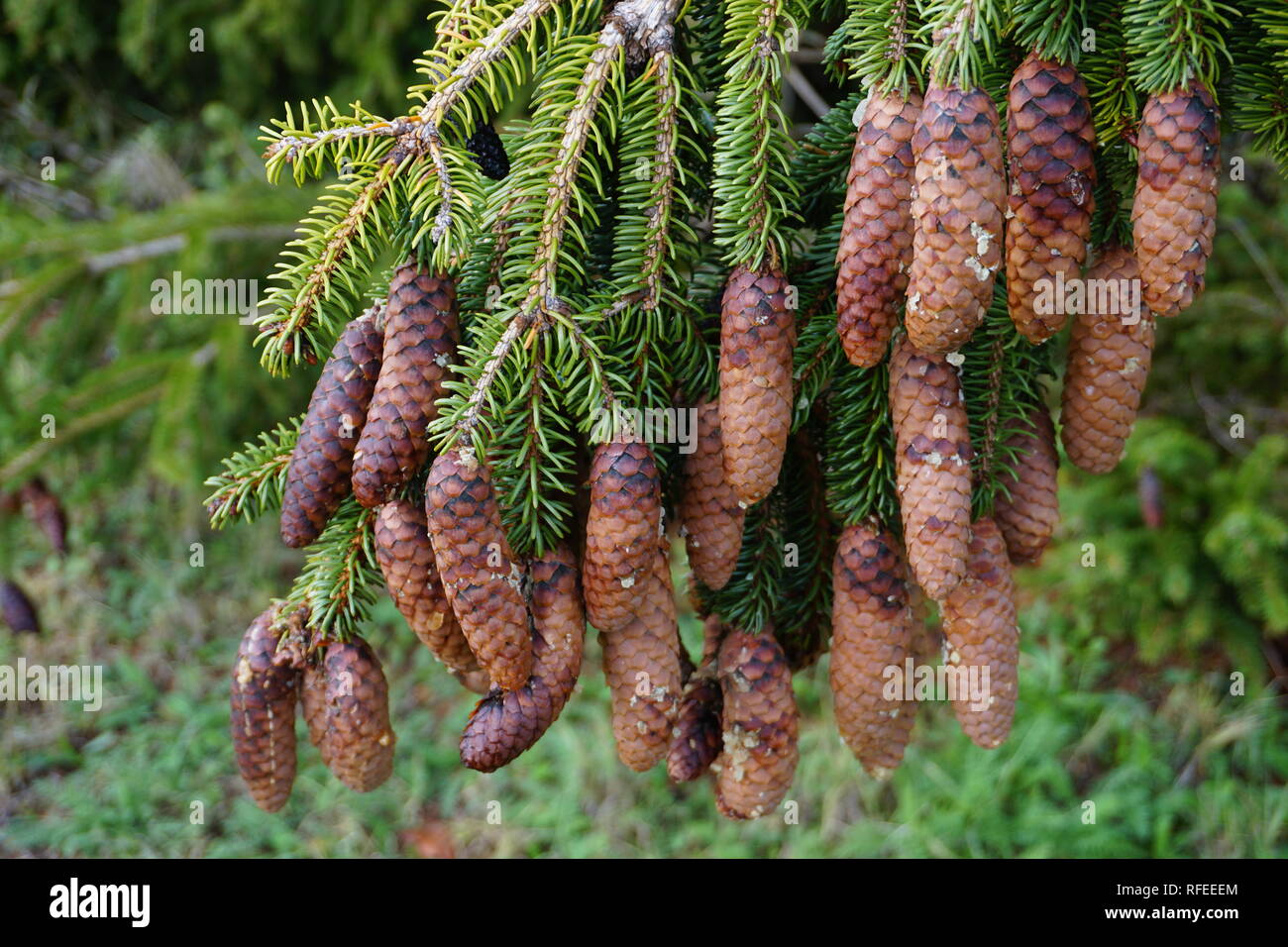 Close up of a cluster of small pinecones hanging from the pine tree in the forest - Stock Image