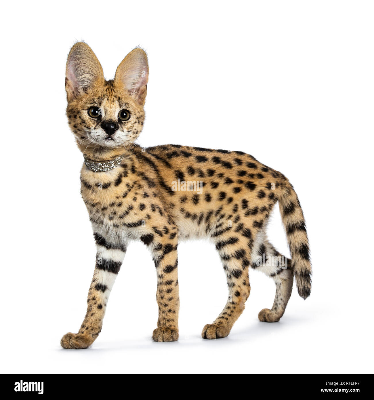 Cute 4 months young Serval cat kitten standing, walking side ways, wearing  shiny collar. Looking beside lens with sweet curious eyes. Tail hanging dow  Stock Photo - Alamy