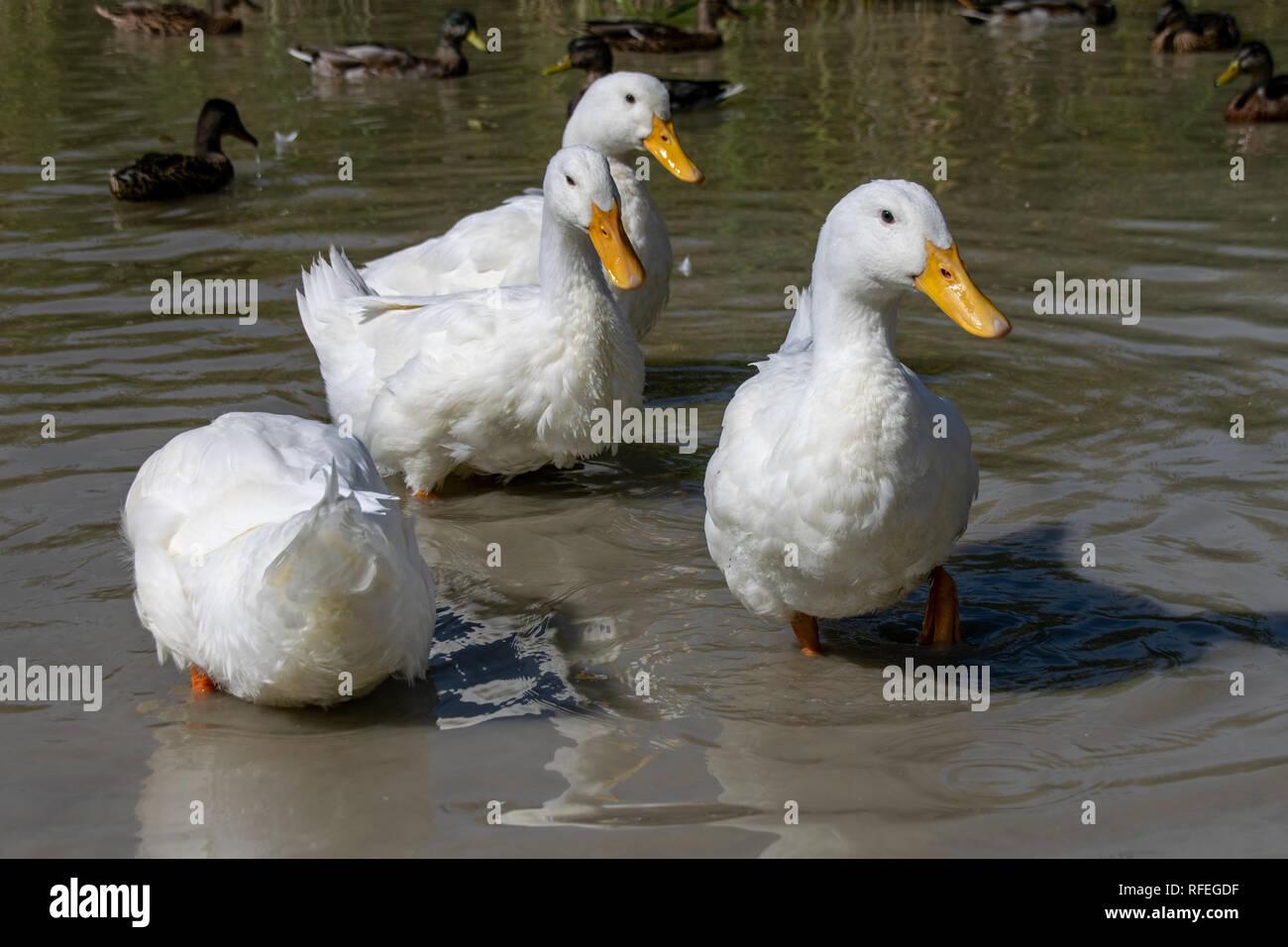 White feathers of Pekin Aylesbury Duck - Stock Image
