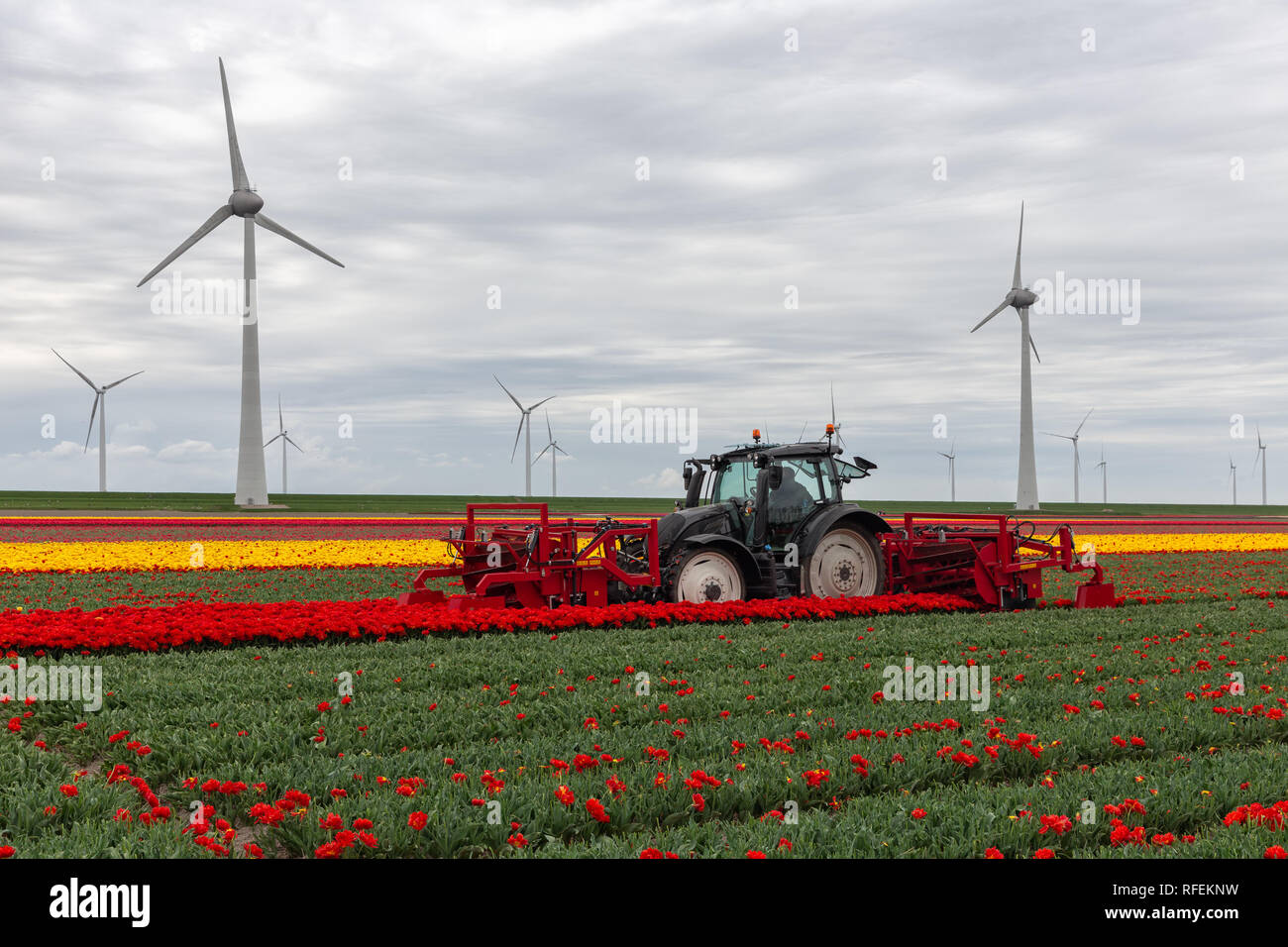 Tractor harvesting tulips on the field with mechanical device - Stock Image