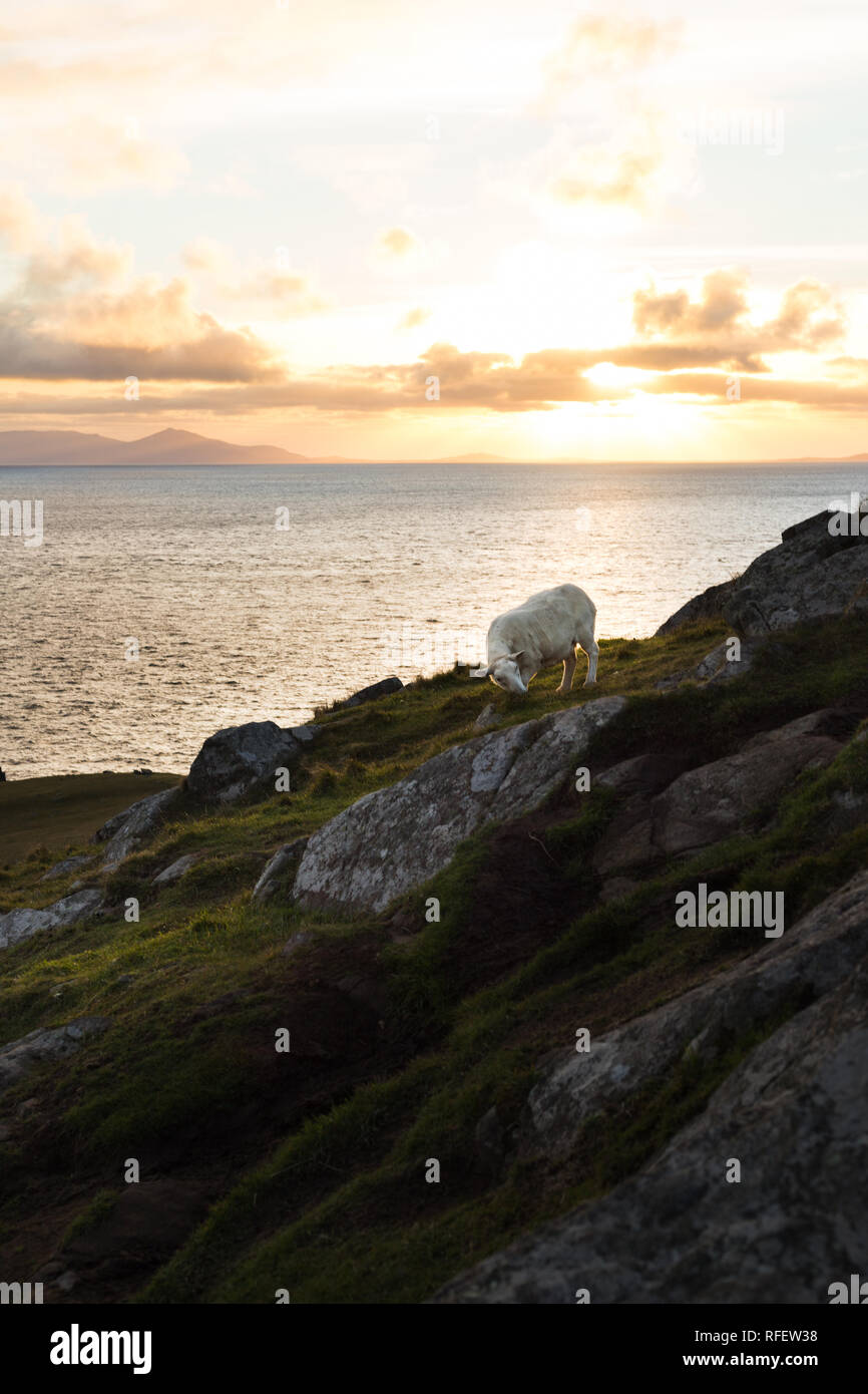 Scottish sheep eating fresh green grass during sunset at the coastline in autumn with sun in the back and cloudy sky (Isle of Skye, Scotland, Europe) - Stock Image