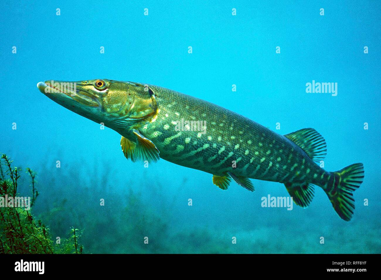 Pike (Esox lucius), floating motionless in open water, Baden-Württemberg, Germany - Stock Image