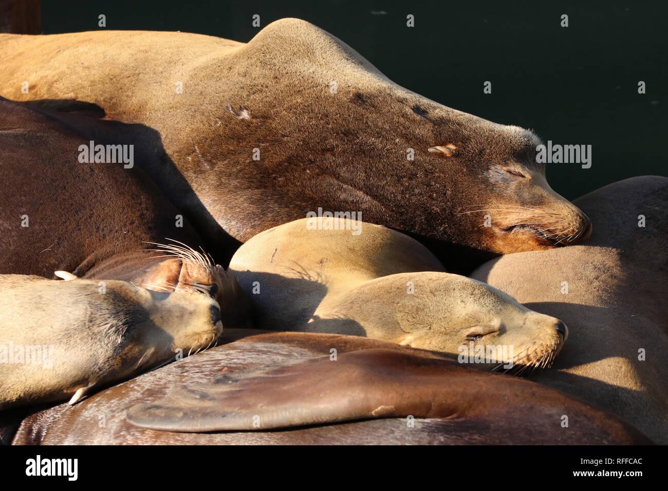 Kalifornischer Seelöwe, California Sea Lion, Zalophus californianus sleeping in Newport Oregon - Stock Image