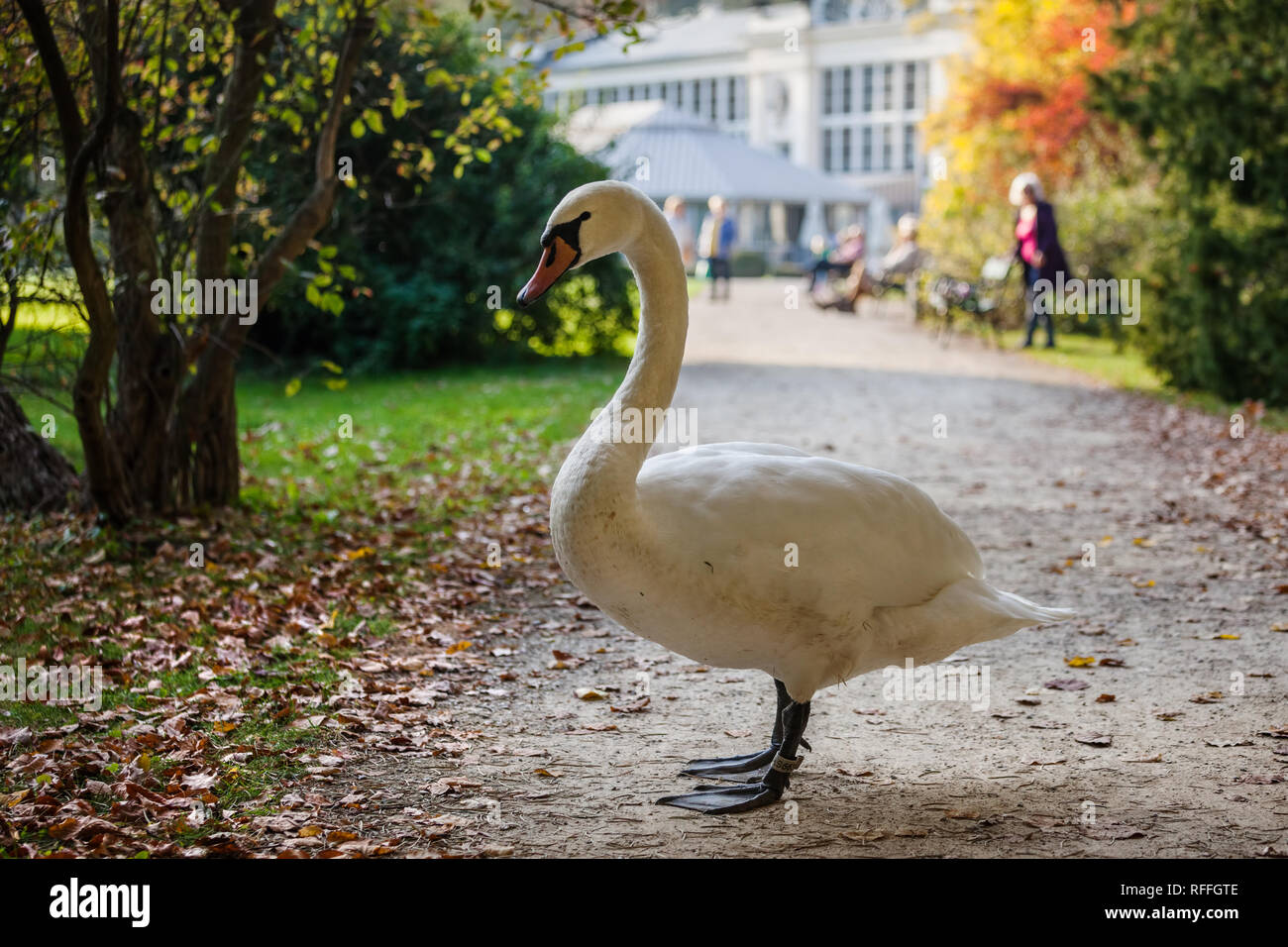 Large swan blocking the alley in Royal Lazienki Park in Warsaw, Poland Stock Photo