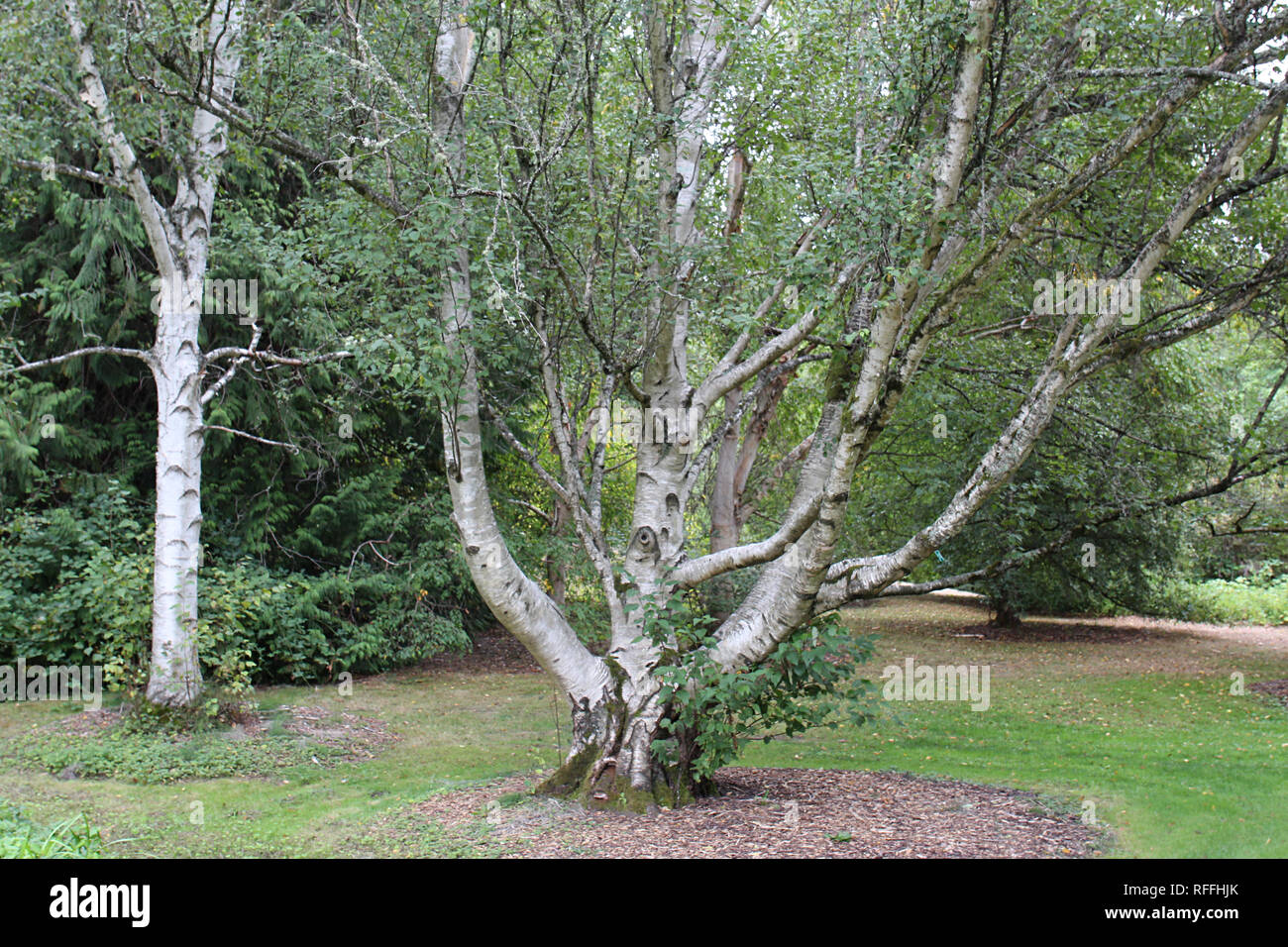A sprawling birch tree growing in the Washington Park Arboretum in Seattle, Washington - Stock Image
