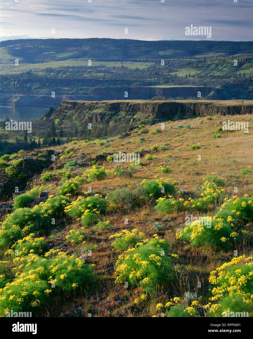 USA, Oregon, Columbia River Gorge National Scenic Area, Spring bloom of desert parsley (Lomatium grayi) with basalt hills in Washington in the distanc - Stock Image